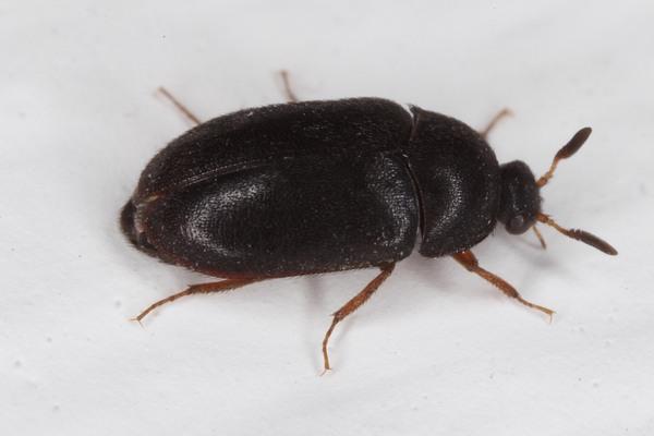 Beetle Pest Control Services Brisbane