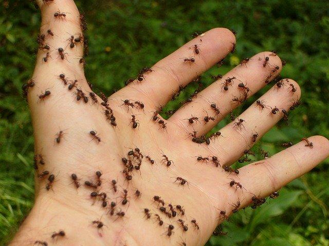 carpenter ants Brisbane