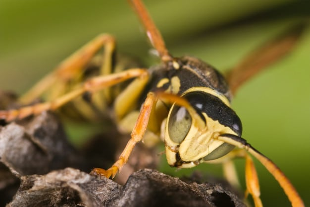Wasp Control Services In Brisbane